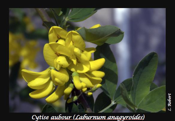 02-Laburnum_anagyroides