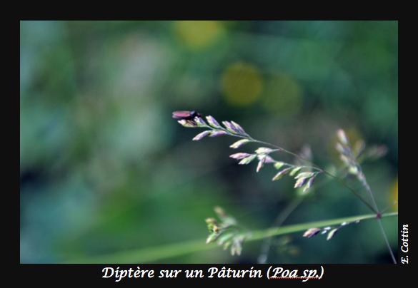03-Diptère_sur_un_paturin