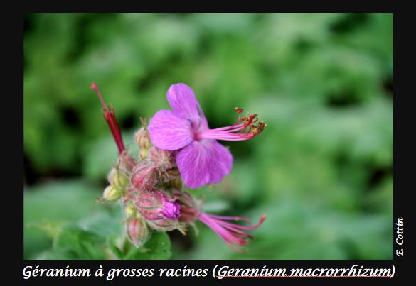 05-Geranium_macrorrhizum