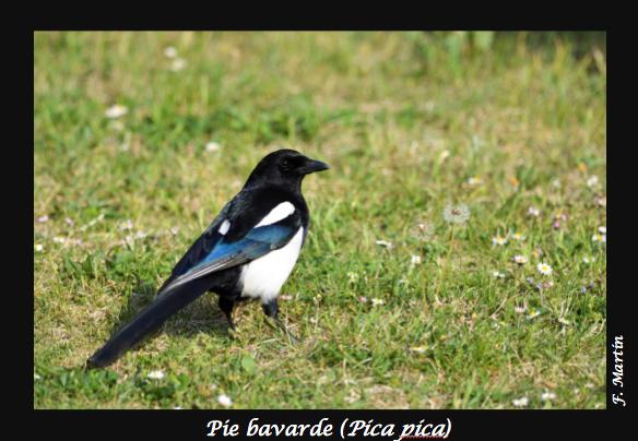 07-Pica_pica
