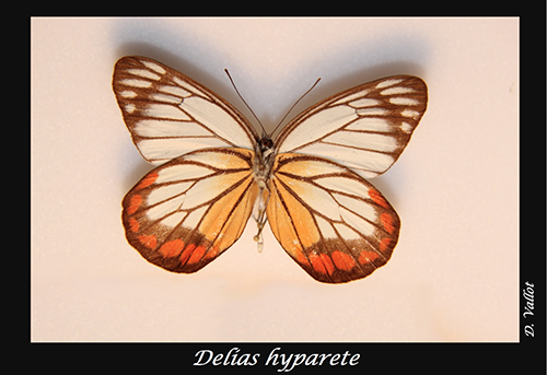 02-Delias-hyparete