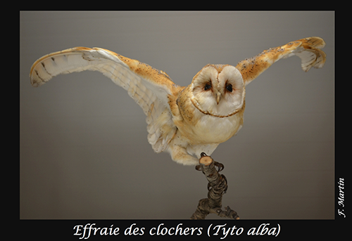 03-Tyto-alba
