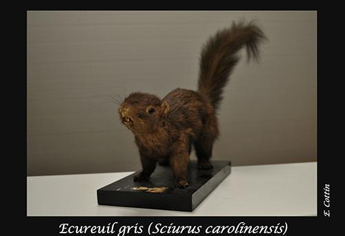 05-Sciurus-carolinensis