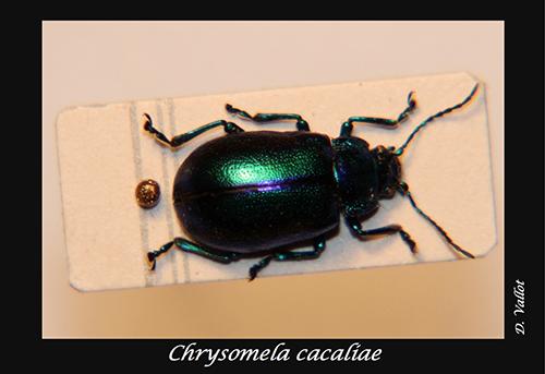 06-Chrysomela-cacaliae