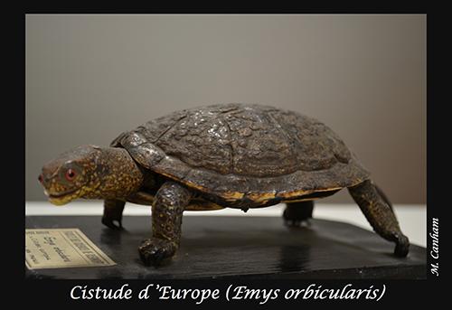 09-Emys-orbicularis