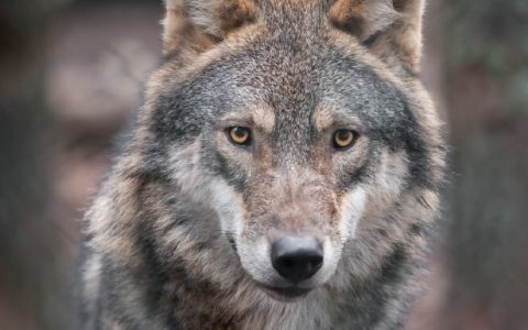 Ciné Débat «avez vous vu le Loup ?» – 19 décembre 2018